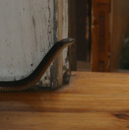 Copperhead-snake-in-lounge-room