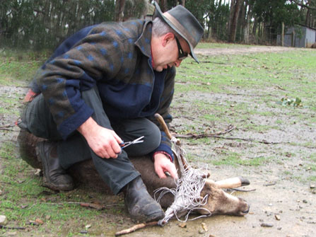 Removing-twine-from-Fallow-Stag