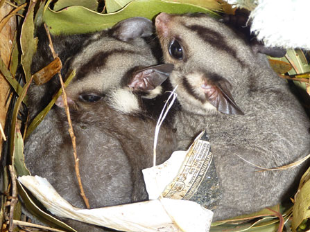 Sugar-Gliders-in-a-hollow