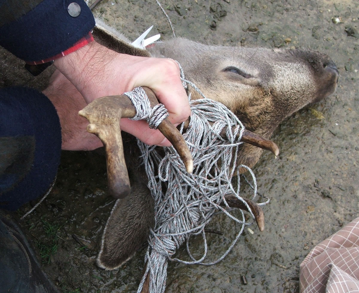 Removing twine from Fallow Stag 2