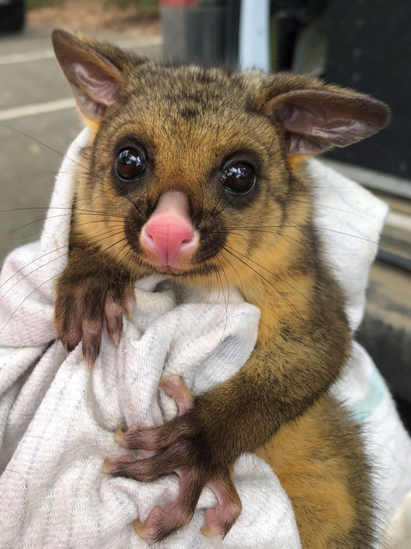 1 Brushtail possum baby captured