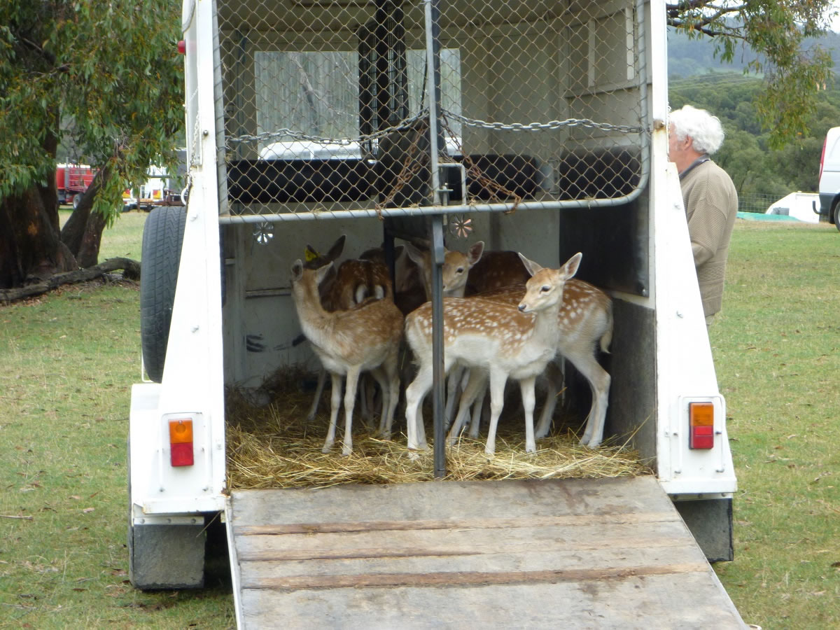 1.3 Fallow Deer Relocation