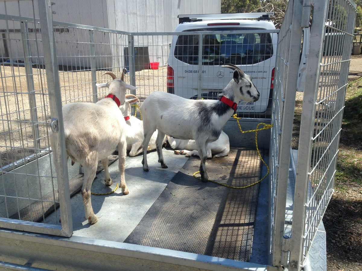 2.1 goats in trailer
