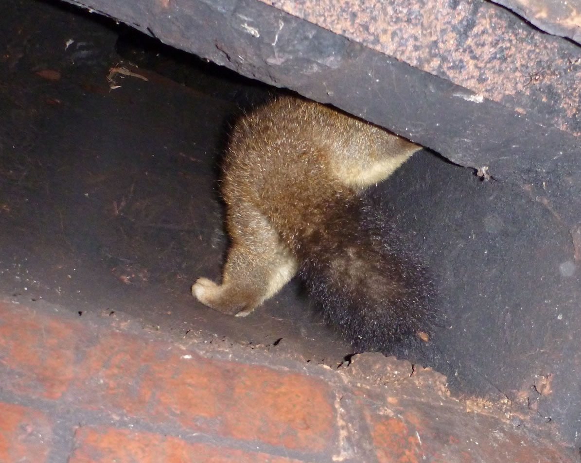 3.3 possum in chimney